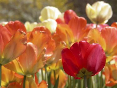 ensom-tulipan